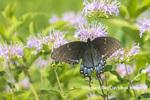 03023-03217 Eastern Tiger Swallowtail (Papilio glaucus) female black form on Wild Bergamot (Monarda fistulosa) Marion Co. IL