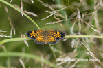03380-00713 Pearl Crescent (Phyciodes tharos) in prairie Marion Co. IL