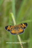 03380-00715 Pearl Crescent (Phyciodes tharos) in prairie Marion Co. IL