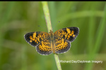 03380-00716 Pearl Crescent (Phyciodes tharos) in prairie Marion Co. IL