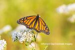 03536-06401 Monarch Butterfly (Danus plexippus) on American Boneset (Eupatorium perfoliatum) Marion Co. IL