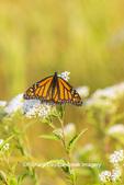 03536-06402 Monarch Butterfly (Danus plexippus) on American Boneset (Eupatorium perfoliatum) Marion Co. IL