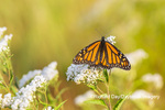 03536-06403 Monarch Butterfly (Danus plexippus) on American Boneset (Eupatorium perfoliatum) Marion Co. IL