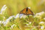 03536-06405 Monarch Butterfly (Danus plexippus) on American Boneset (Eupatorium perfoliatum) Marion Co. IL