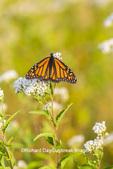 03536-06406 Monarch Butterfly (Danus plexippus) on American Boneset (Eupatorium perfoliatum) Marion Co. IL