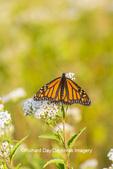 03536-06407 Monarch Butterfly (Danus plexippus) on American Boneset (Eupatorium perfoliatum) Marion Co. IL