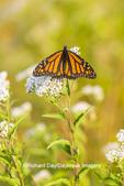 03536-06409 Monarch Butterfly (Danus plexippus) on American Boneset (Eupatorium perfoliatum) Marion Co. IL