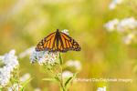 03536-06411 Monarch Butterfly (Danus plexippus) on American Boneset (Eupatorium perfoliatum) Marion Co. IL