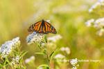 03536-06413 Monarch Butterfly (Danus plexippus) on American Boneset (Eupatorium perfoliatum) Marion Co. IL