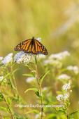 03536-06414 Monarch Butterfly (Danus plexippus) on American Boneset (Eupatorium perfoliatum) Marion Co. IL