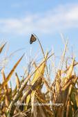 03536-06417 Monarch Butterfly (Danus plexippus) on corn tassel Marion Co. IL