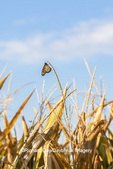 03536-06501 Monarch Butterfly (Danus plexippus) on corn tassel Marion Co. IL