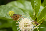 03747-00101 Dion Skipper(Euphyes dion) on Buttonbush Wayne Co. MO