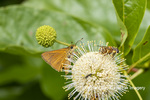 03747-00104 Dion Skipper(Euphyes dion) on Buttonbush Wayne Co. MO
