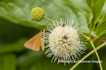 03747-00106 Dion Skipper(Euphyes dion) on Buttonbush Wayne Co. MO