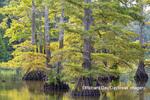 63895-16006 Cypress trees Horseshoe Lake State Fish & Wildlife Area Alexander Co. IL