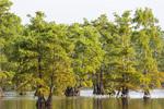63895-16008 Cypress trees Horseshoe Lake State Fish & Wildlife Area Alexander Co. IL