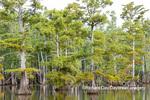 63895-16009 Cypress trees Horseshoe Lake State Fish & Wildlife Area Alexander Co. IL