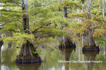 63895-16010 Cypress trees Horseshoe Lake State Fish & Wildlife Area Alexander Co. IL