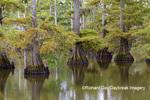 63895-16012 Cypress trees Horseshoe Lake State Fish & Wildlife Area Alexander Co. IL