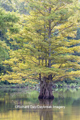 63895-16013 Cypress trees Horseshoe Lake State Fish & Wildlife Area Alexander Co. IL