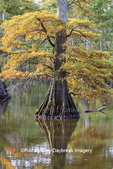 63895-16014 Cypress trees Horseshoe Lake State Fish & Wildlife Area Alexander Co. IL