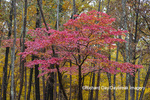 63895-16102 Dogwood tree in fall color at Stephen A. Forbes State Park Marion Co. IL