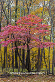 63895-16103 Dogwood tree in fall color at Stephen A. Forbes State Park Marion Co. IL