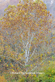Sycamore tree in fall color at Stephen A. Forbes State Park Marion Co. IL