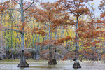 63895-16406 Cypress trees in fall color Horseshoe Lake State Fish & Wildlife Area Alexander Co. IL