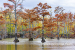 63895-16407 Cypress trees in fall color Horseshoe Lake State Fish & Wildlife Area Alexander Co. IL