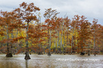 63895-16409 Cypress trees in fall color Horseshoe Lake State Fish & Wildlife Area Alexander Co. IL