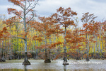 63895-16410 Cypress trees in fall color Horseshoe Lake State Fish & Wildlife Area Alexander Co. IL