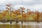 63895-16411 Cypress trees in fall color Horseshoe Lake State Fish & Wildlife Area Alexander Co. IL