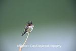 01162-03009 Ruby-throated Hummingbird (Archilochus colubris) male Marion Co. IL