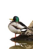 00729-02510 Mallard (Anas platyrhynchos) male on log in wetland Marion Co. IL