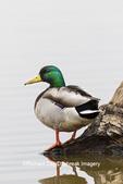 00729-02512 Mallard (Anas platyrhynchos) male on log in wetland Marion Co. IL