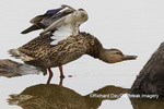 00729-02518 Mallard (Anas platyrhynchos) male stretching wings on log in wetland Marion Co. IL