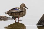 00729-02519 Mallard (Anas platyrhynchos) female on log in wetland Marion Co. IL