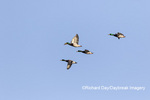 00729-02603 Mallards (Anas platyrhynchos) in flight Marion Co. IL