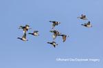00729-02604 Mallards (Anas platyrhynchos) in flight Marion Co. IL