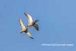 00729-02606 Mallards (Anas platyrhynchos) male & female in flight Marion Co. IL