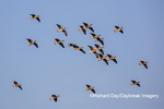 00736-00201 Greater White-fronted Geese (Anser albifrons) in flight Marion Co. IL