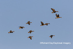 00736-00205 Greater White-fronted Geese (Anser albifrons) in flight Marion Co. IL