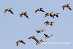 00748-05817 Canada Geese (Branta canadensis) in flight Marion Co. IL