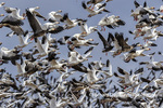 00754-02908 00754-029.05 Snow Geese (Anser caerulescens) in flight Marion Co. IL
