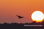 00783-01813 Osprey (Pandion haliaetus) in flight at sunset Rend Lake Jefferson Co. IL