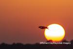 00783-01815 Osprey (Pandion haliaetus) in flight at sunset Rend Lake Jefferson Co. IL