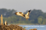 00783-01819 Osprey (Pandion haliaetus) landing at nest Rend Lake Jefferson Co. IL