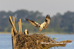 00783-01820 Osprey (Pandion haliaetus) landing at nest Rend Lake Jefferson Co. IL